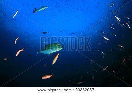 Trevally fish hunting in ocean