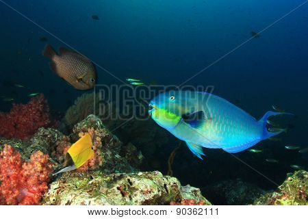Fish and coral underwater: Roundhead Parrotfish
