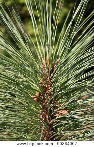Detail of a conifer tree Pinus Arizonica