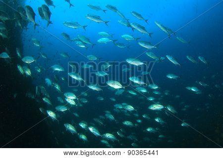 School Bigeye Jack fish (Trevallies)
