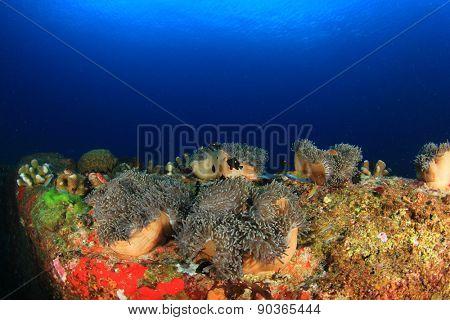 Sea Anemones, Coral reef underwater