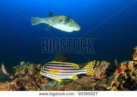 Oriental Sweetlips fish and Blue-spotted Puffer fish