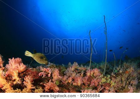 Blackspotted Puffer fish and coral reef
