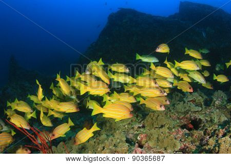 School five-lined Snapper fish on coral reef underwater