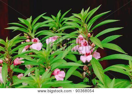 Flower Garden Balsam
