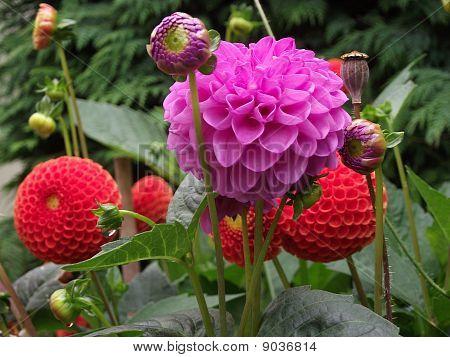 Dalias In Summer Garden