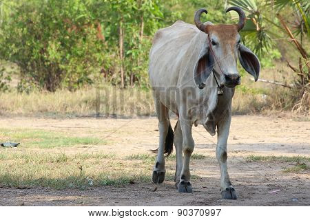 Asian Cow On Country
