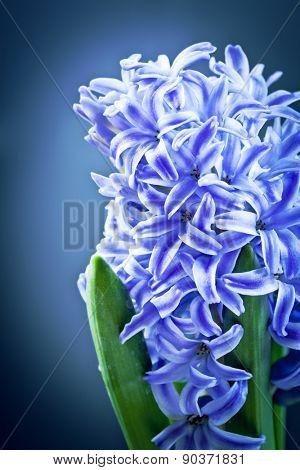 Beautiful blue  Hyacinths over black