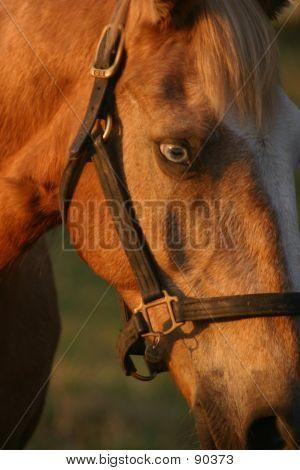 Albino Horse