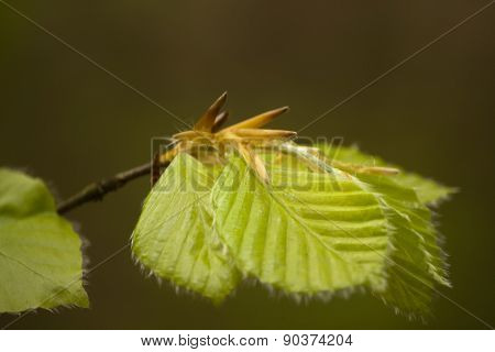 Beech Leaves Opening In Spring
