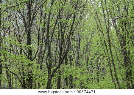 Dense Beech Forest