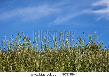 Ears Of Wheat Green And Sky Blue