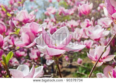 Blooming Garden Of Magnolia Trees