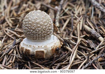 Small Toadstool Spissa