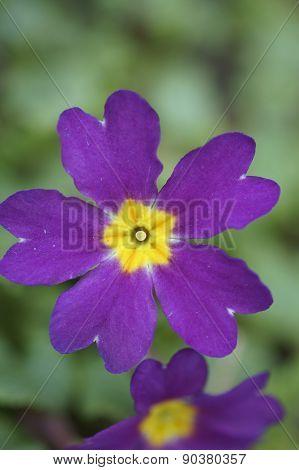 Primrose Closeup