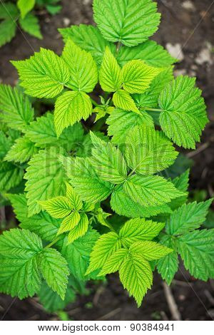 raspberry bush with leaves