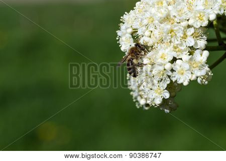 Bee collects nectar and pollinates flowers.