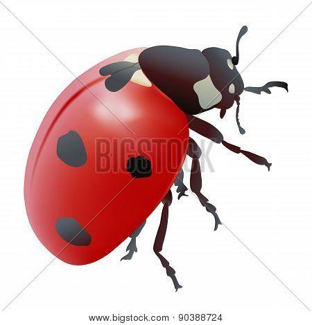 Ladybug or Seven-spot Ladybird