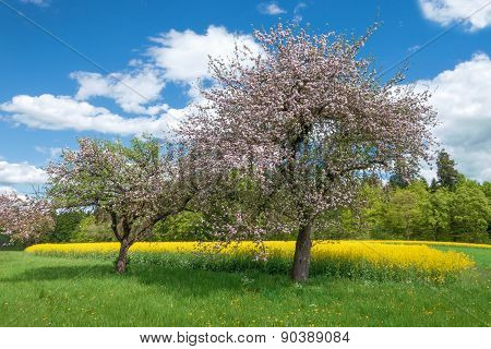Blooming apple trees in front of a yellow rape field