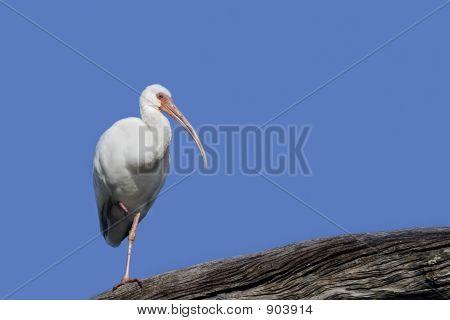 White Ibis, Blue Sky