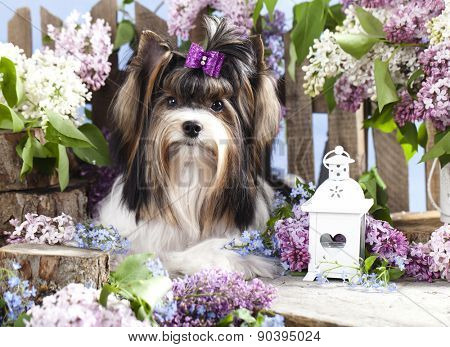 Beaver Yorkshire Terrier, dog and flowers