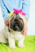 stock photo of barbershop  - Cute Shih Tzu and hairdresser in barbershop - JPG