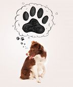 picture of border collie  - Cute brown and white border collie thinking about a paw in a thought bubble above his head - JPG