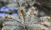 foto of blue spruce  - blue spruce branches with cones in spring - JPG