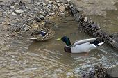 picture of canard  - A pair of mallard ducks in a forest creek - JPG