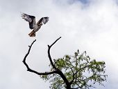 picture of osprey  - An Osprey taking off from a tree branch on the Chickahominy River Va - JPG