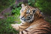 image of tiger cub  - young amur tiger cub portrait in the zoo - JPG