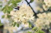 stock photo of apple blossom  - Warm color toned image of blooming fruit tree - JPG