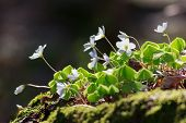image of sorrel  - Wood Sorrel or Common Wood Sorrel  - JPG