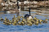 image of mother goose  - Adorable Little Goslings Swimming along with Mom - JPG