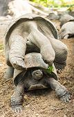 picture of mating  - Two wild Aldabra giant tortoises of the Seychelles  - JPG
