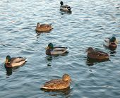 stock photo of duck  - ducks on water in city park pond - JPG
