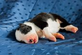 pic of border collie  - Newborn purebred black and white border collie - JPG