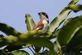 pic of jungle birds  - Burmese Shrike Lanius collurioides Birds of Thailand - JPG