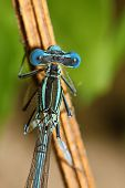 picture of dragonflies  - bright Dragonfly on a branch - JPG