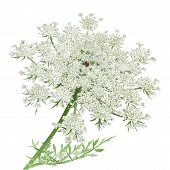 stock photo of lace  - Hand drawn vector illustration of a wild carrot flower or Queen Anne - JPG