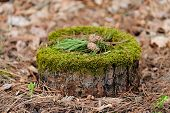 picture of pine-needle  - Pine stump with moss pine needles and cones horizontal - JPG