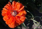 stock photo of poppy flower  - Flowering of decorative poppy - JPG