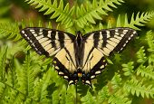 pic of fern  - A beautiful Canadian Tiger Swallowtail rests with its wings outspread on a lovely fern in the northwoods of Wisconsin - JPG