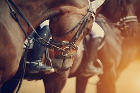 image of stallion  - Sports brown horses in ammunition before competitions - JPG