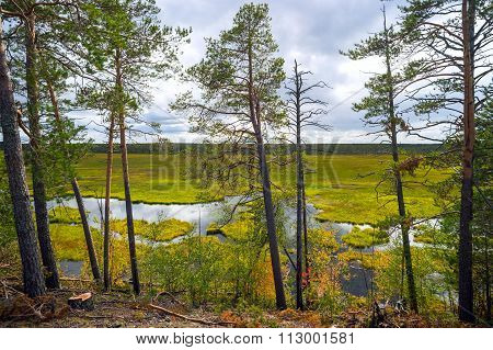 Pines On The Shore Of  Bog In Western Siberia.