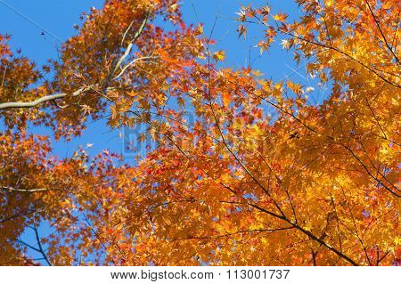 Orange maple leaves in autumn with clear blue sky