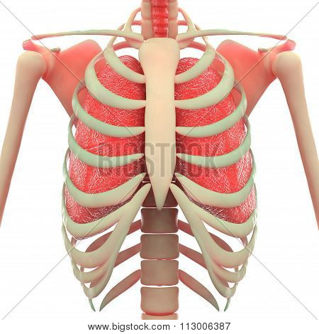 Human Ribs with Scapula and Lungs