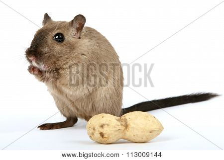 Female Rodent With Monkey Nut Peanut On White