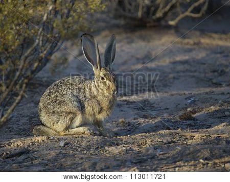 Desert Jackrabbit