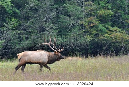 Large male elk during bugling season at Cataloochee in the Smoky Mountains of North Carolina